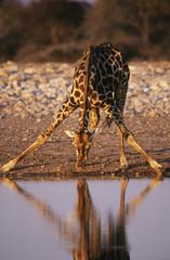 Maasai Giraffe Giraffa Camelopardalus drinking at waterhole