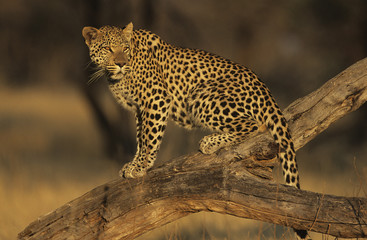 Leopard Panthera Pardus standing on branch