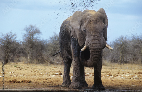 African Elephant Loxodonta Africana squirting mud on savannah