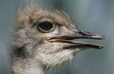 Ostrich, close-up of head