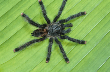 Tarrantula on leaf
