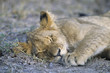 Lion sleeping on savannah, close-up
