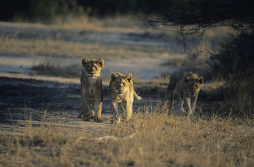 Three Lions hunting on savannah