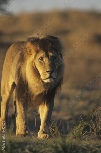Male Lion walking on savannah