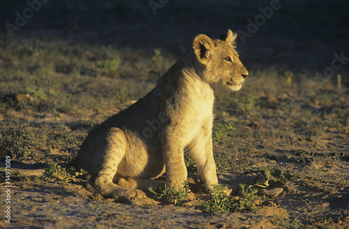 Lion sitting on savannah
