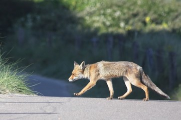 red fox crossing the road