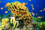 Fotoroleta Leafy Cup Coral and Red Sea Bannerfish