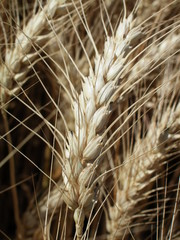 Wheat ear detail