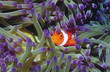 Clown fish hiding among sea anenomies