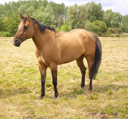 Light Chestnut Horse