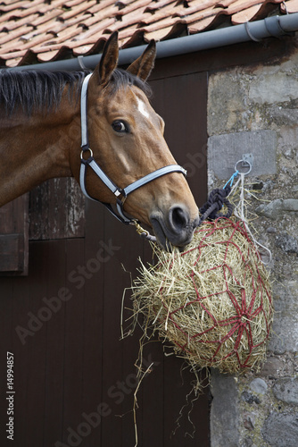Horse eating hay outside stable