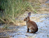 Wild rabbit  siting on sand track