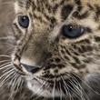 roleta: Persian leopard Cub (6 weeks)