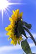 profilo di girasole con luce solare