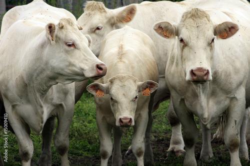 Papiers peints Vache Bovins au pré