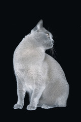 Blue Burmese cat looking on side