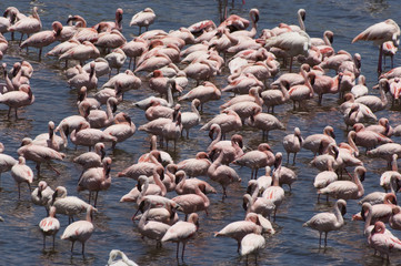 Flock of flamingos genus: Phoenicopterus in water, elevated view