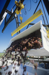 Wine grapes unloading into crusher,Yarra Valley, Victoria, Australia