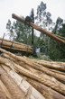 Plantation Eucalyptus bluegum trees being harvested for woodchipping