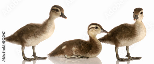 flock of baby mallard ducks isolated on white background