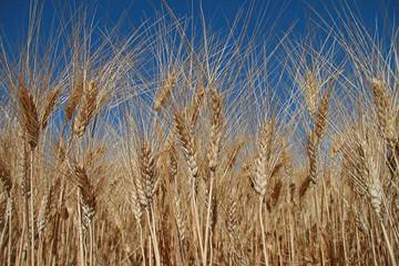champs de blé, epis sur fond ciel bleu