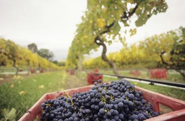 black grapes in crate at vineyard yarra valley victoria australia