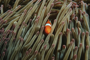 Raja Ampat, Indonesia, Pacific Ocean, false clown anemonefish Amphiprion ocellaris hiding in magnificent sea anemone Heteractis magnifica