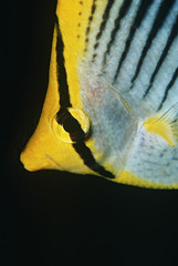 Raja Ampat, Indonesia, Pacific Ocean, spot-tail butterflyfish Chaetodon ocellicaudus, close-up