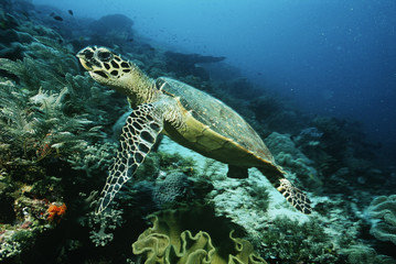 Raja Ampat, Indonesia, Pacific Ocean, hawksbill turtle eretmochelys imbricata cruising above coral reef