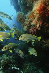 Raja Ampat, Indonesia, Pacific Ocean, school of oriental sweetlips Plectorhinchus orientalis congregating in cave below coral reef