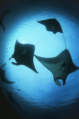 Raja Ampat, Indonesia, Pacific Ocean, silhouettes of manta rays Manta birostris, low angle view