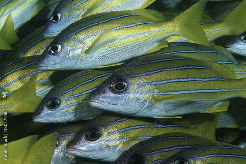 Mozambique, Indian Ocean, school of bluestripe snappers Lutjanus kasmira, close-up