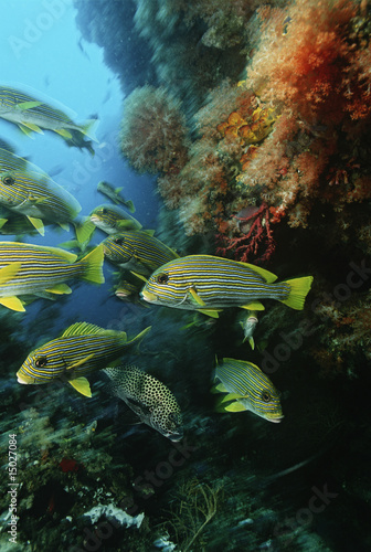 Raja Ampat, Indonesia, Pacific Ocean, school of oriental sweetlips Plectorhinchus orientalis congregating in cave below coral reef