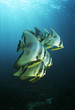 Raja Ampat, Indonesia, Pacific Ocean, juvenile batfish Platax teira swimming under surface of ocean