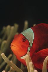 Raja Ampat, Indonesia, Pacific Ocean, spinecheek anemonefish Premnas biaculeatus, close-up