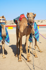 Robot controlled camel racing