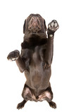 Isolated Shot of a Chocolate Labrador with Both Paws in the Air poster