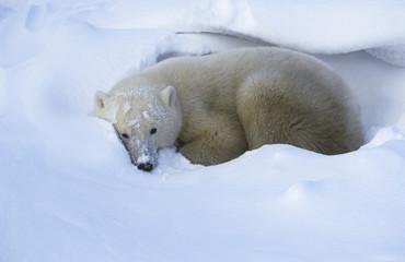Canada, Churchill, Polar Bear lying in snow