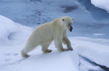 Norway, Spitsbergen, Polar Bear in snow