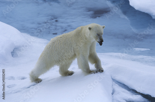 Norway, Spitsbergen, Polar Bear in snow