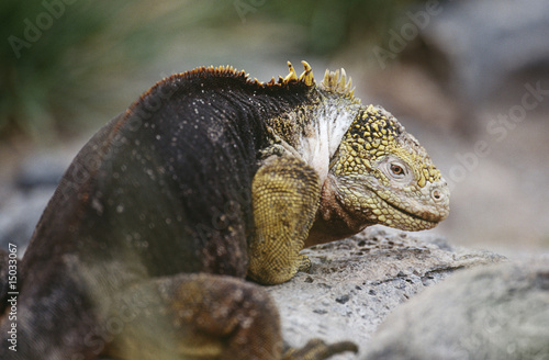 Ecuador, Galapagos Islands, Land Iguana resting on rock