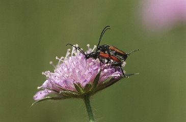 Two longhorn beetles mating on Field Scabious flower, close up