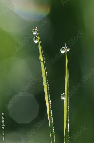 Dew droplets on grass blades, close up