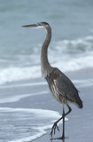 USA, Florida, Sanibel Island, Great Blue Heron on beach, side view