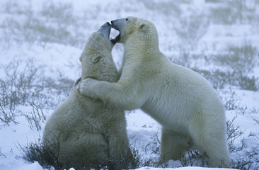 Canada, Churchill, polar bear cubs playing in snow