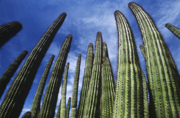USA, Arizona, Organ Pipe Cactus against sky, low angle view