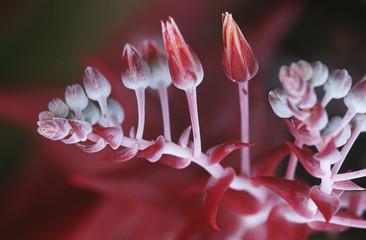 Succulent plant flowering, close up