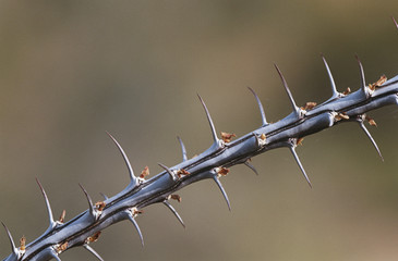 Thorny branch of Ocotillo Fouquieria splendens, close-up