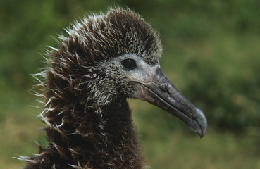 Profile of Laysan Albatross  Phoebastria immutabilis nesting