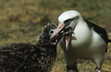 Laysan Albatross Phoebastria immutabilis feeding nestling